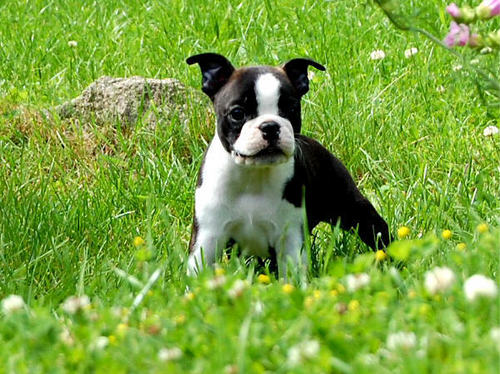 Baby Animals wallpaper containing a boston bull entitled puppies