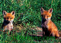 red fox cubs