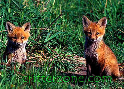 Baby Animals wallpaper called red fox cubs