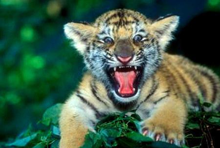 虎カブ, トラ, トラの赤ちゃん