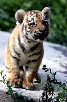 tiger cub, anak harimau