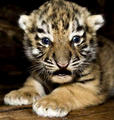 tiger cub - baby-animals photo
