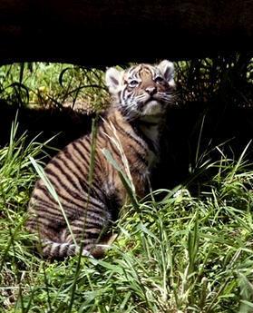 hổ cub, con hổ, cub hổ