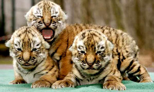 Baby Animals images tiger cub wallpaper and background photos