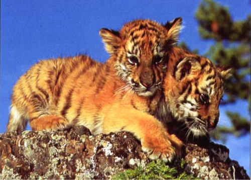 Baby Animals wallpaper probably containing a tiger cub and a bengal tiger called tiger cub