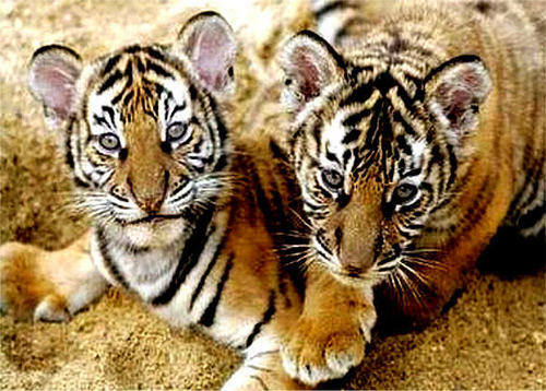 Baby Animals wallpaper with a tiger cub titled tiger cub