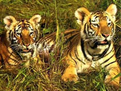 anak harimau, harimau
