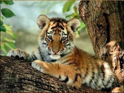 Baby Animals wallpaper probably with a tiger cub, a bengal tiger, and a tiger called tiger cub