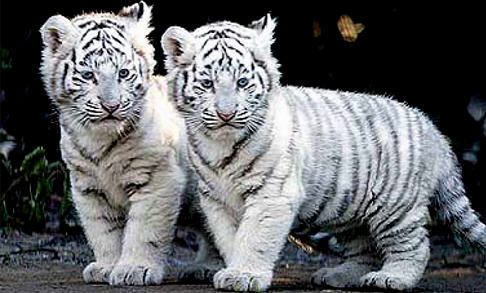 White Baby Tigers Cubs Animals Images Tiger Wallpaper