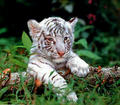 white tiger cubs - baby-animals photo