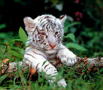 Baby Animals wallpaper containing a tiger cub and a bengal tiger called white tiger cubs