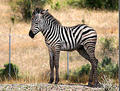 zebra foal - baby-animals photo