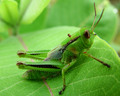 Green Bugs! wallpaper