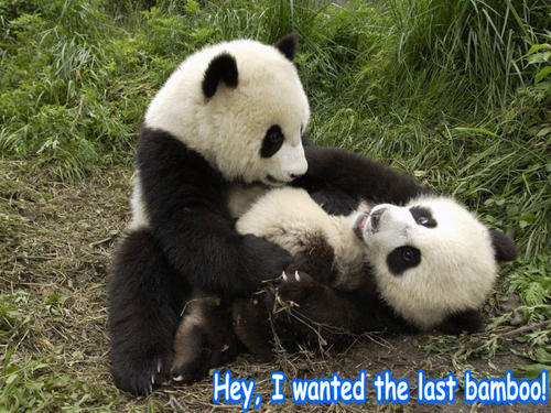 animali comici wallpaper with a giant panda called orso funny