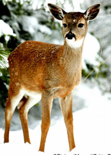 Deer images deer wallpaper and background photos