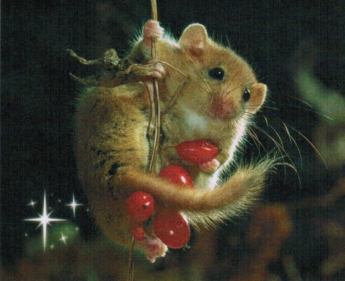 All I want for Weihnachten is a Dormouse