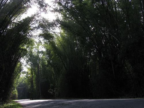 Bamboo Trees in Kerala