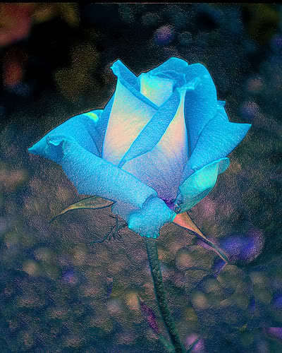 Blue roses for toi Berni @>---