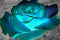 Blue rosas for tu Berni @>---
