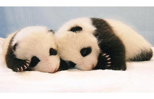 Cute Panda Cubs