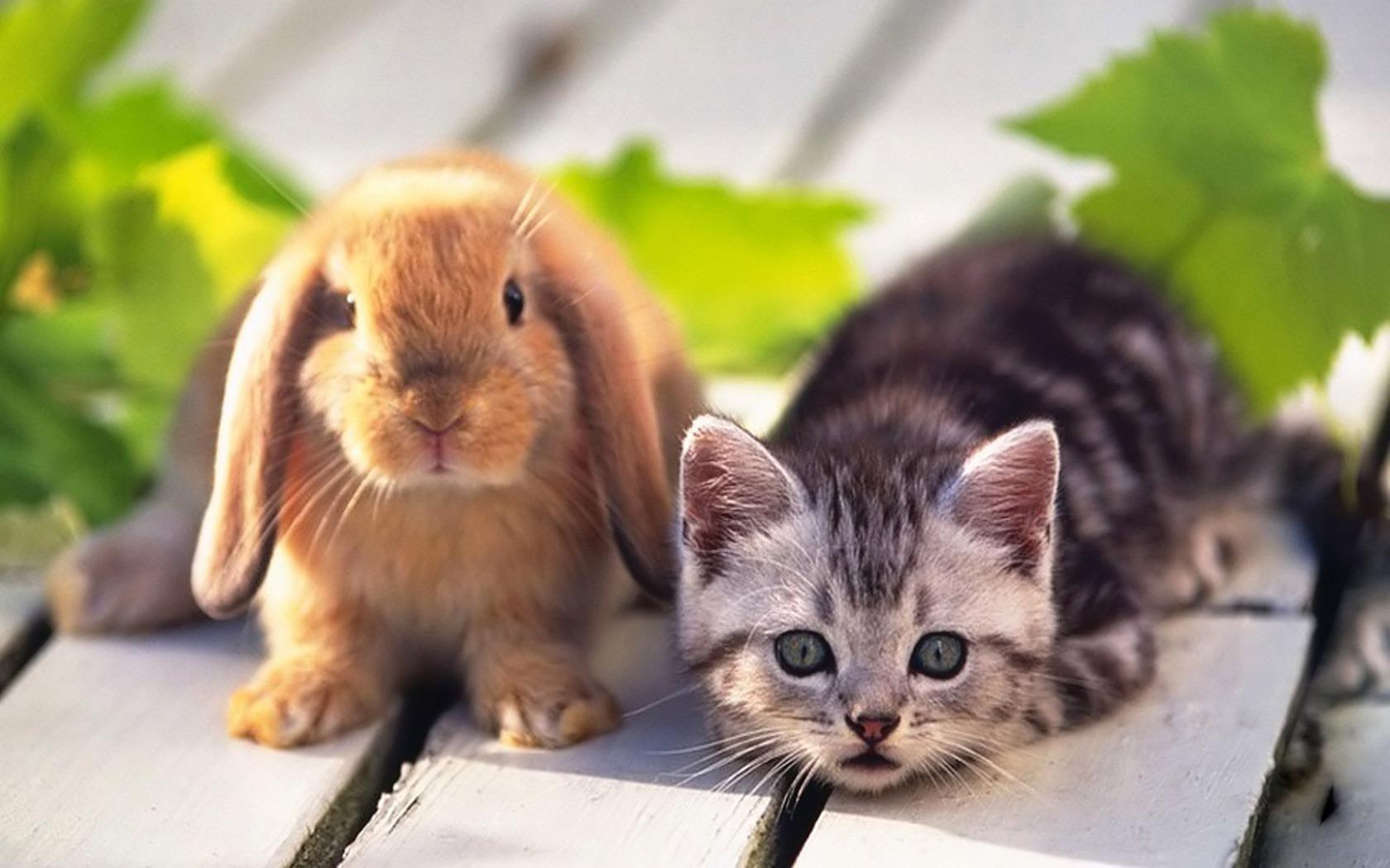 Teddybear64 Images Kitten And Rabbit HD Wallpaper Background Photos