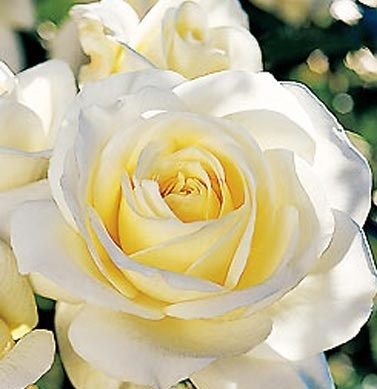 Roses images La Rose Blanche wallpaper and background photos ...