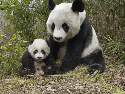 Panda mum and Baby