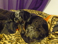 Pepper &amp; Zita - dachshunds photo
