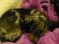 Pepper & Zita - dachshunds photo