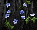 Tangled Up In Blue - flora-and-fauna photo