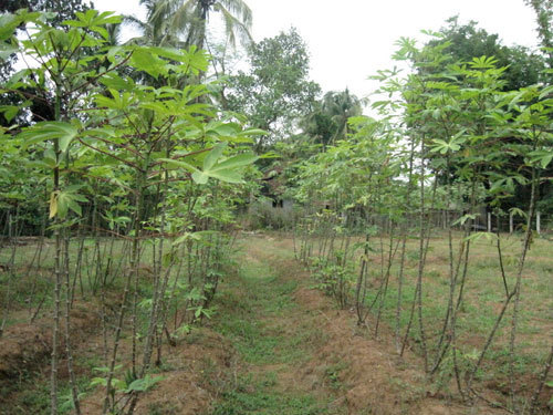 Tapioca Cultivation in Kerala