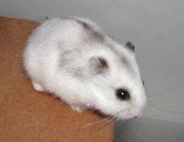White dwarf hámster