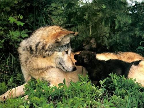 волк and Pup