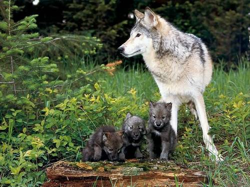 волк and Pups