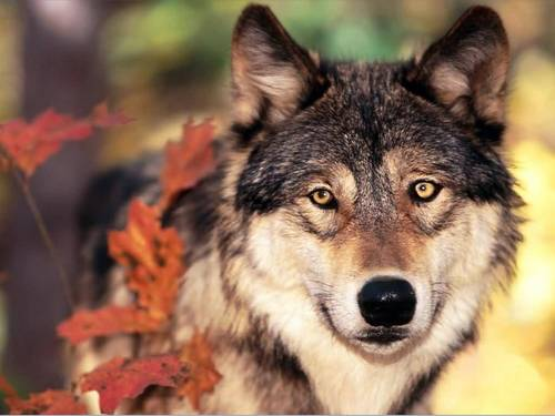 serigala, wolf in Autumn