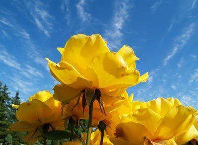 Yellow Розы & Blue Sky