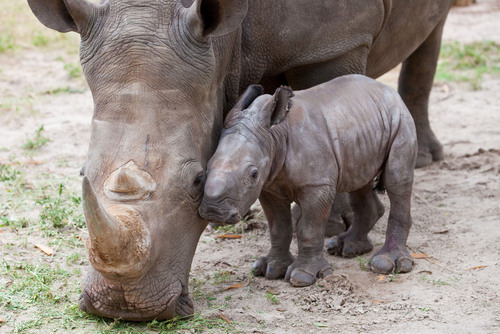 Rhinos wallpaper entitled Baby Rhino