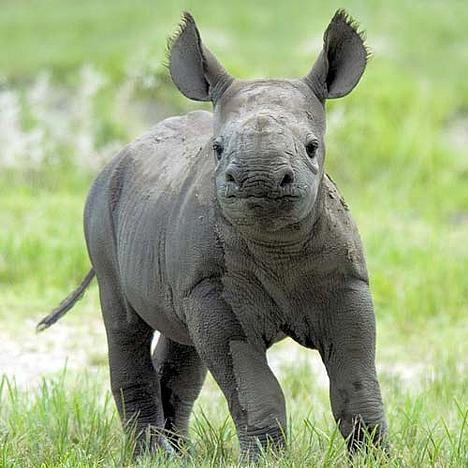 Rhinos images Baby Rhino wallpaper and background photos