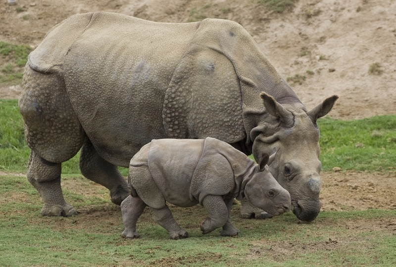 rhinos images baby rhino hd wallpaper and background