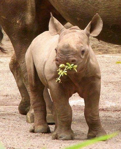 Rhinos images Baby Rhino wallpaper and background photos ...