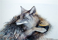 Coyote Steals Fire - mercy-thompson-series photo