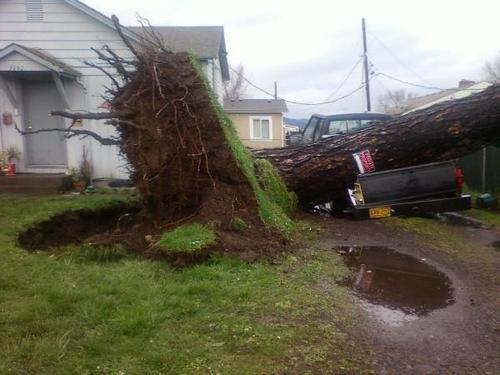 Massive tress fall in Sunday&#39;s wind storm in my state of Oregon - god-the-creator Photo