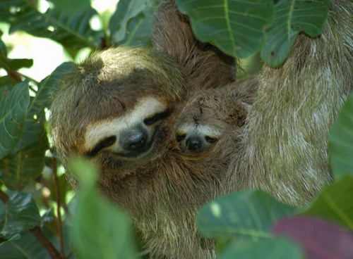 Animals achtergrond containing a three toed sloth titled Mothers love their children