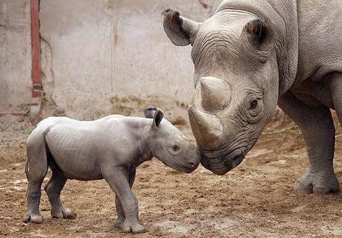 Rhinos wallpaper entitled Rhinoceros
