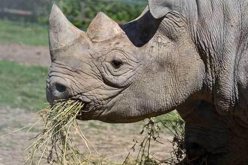 Rhinos wallpaper titled Rhinoceros