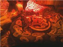 Sassy-A Ball ular sanca, python