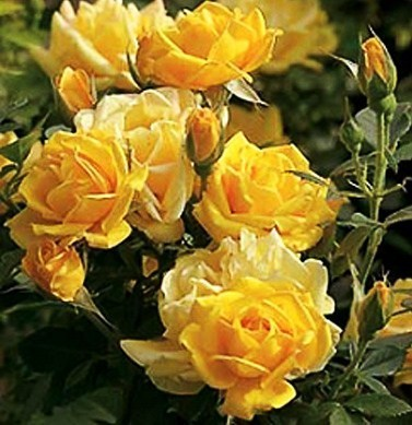 Roses images the yellow rose of texas wallpaper and background roses images the yellow rose of texas wallpaper and background photos mightylinksfo