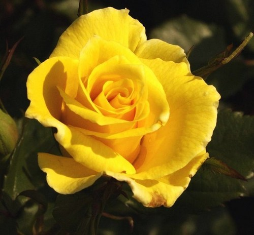 Roses images the yellow rose of texas hd wallpaper and background roses wallpaper containing a begonia a rose and a rose called the yellow rose mightylinksfo