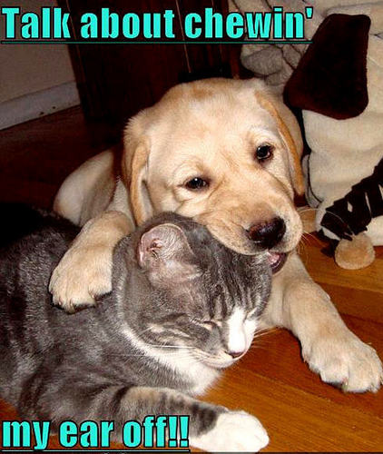 Animal Humor wallpaper probably with a labrador retriever entitled dog & cat funny