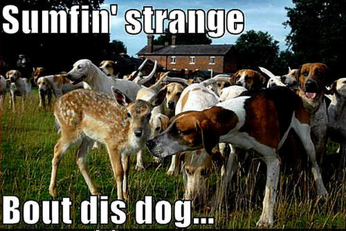 Animal Humor wallpaper probably containing an english foxhound titled dog & deer funny